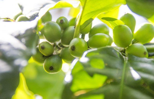 クロロゲン酸入りダイエット飲料グリーンコーヒー、おすすめサプリとは?